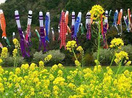 菜の花と鯉のぼり