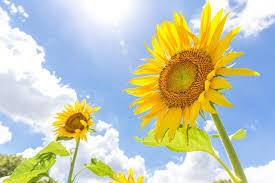 ひまわりの花と日差し